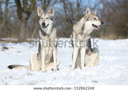 Saarloos Wolfhound bitches in winter - stock photo