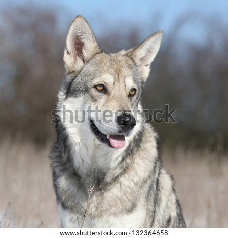 Saarloos Wolfhound in winter - stock photo