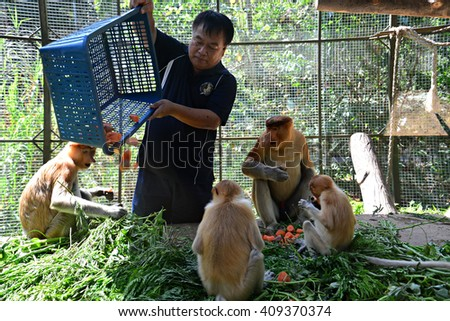 SABAH, MALAYSIA-FEB 27,2016:Unidentified a ranger with his basket of fruits and vegetables to feeding the proboscis monkey at  Zoo on February 27, 2016 in Kota Kinabalu, Sabah Borneo, Malaysia. - stock photo