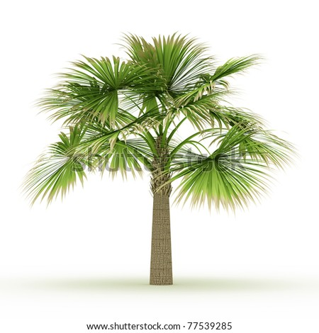 Sabal palm isolated over white - stock photo