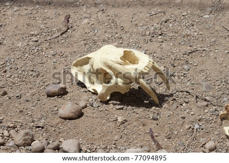 Saber Tooth Tiger Skull - stock photo