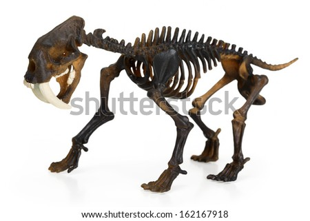 Saber toothed tiger Skeleton isolated on white - stock photo