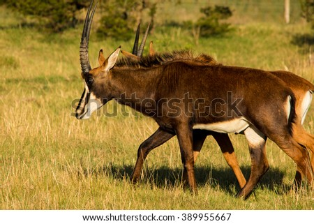 sable antelope african mammal savannah south africa
