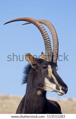 Sable antelope standing in grassland; Hippotragus niger
