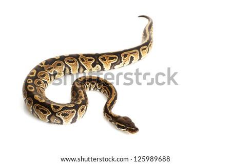 Sable Ball Python (Python regius) isolated on white background. - stock photo