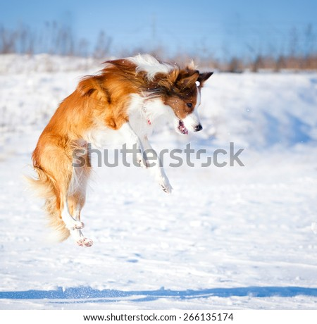 sable border collie jumping in snow - stock photo