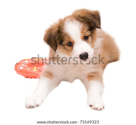 Sable color border collie puppy isolated on white - stock photo