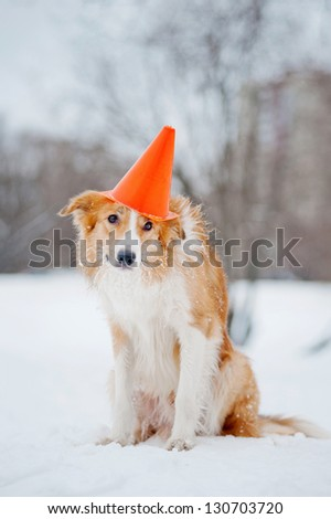 sable dog border collie wearing a hat on his head, portrait in winter