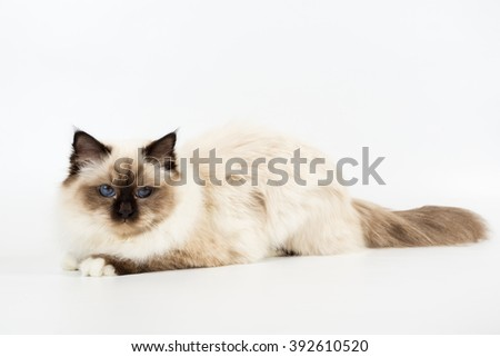 Sacred Birman Cat on a white background isolated - stock photo
