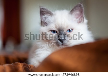 Sacred birman kitty - stock photo