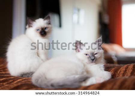 Sacred birman siblings in bed at home