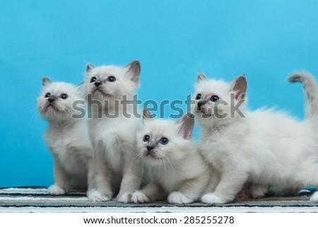 Sacred Burmese kittens isolated - stock photo