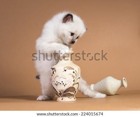Sacred cat,cats, kittens, tibetan monks, back background, blue eyes, isolated - stock photo