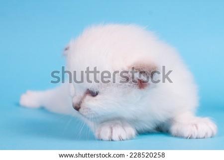 Sacred cat,kittens, tibetan monks, blue background, blue eyes, isolated - stock photo