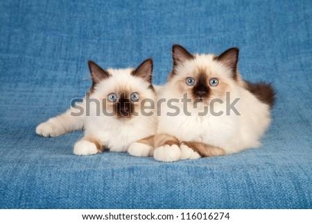 Sacred cat of burma birman lying on blue background - stock photo