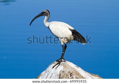 sacred ibis on rock - stock photo