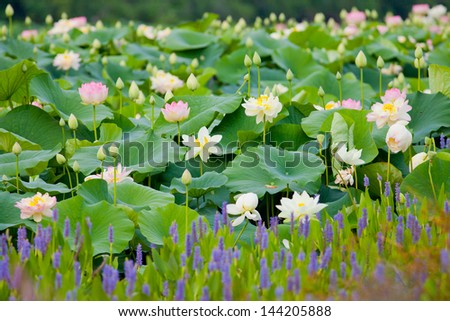 Sacred Lotus (Nelumbo nucifera) - stock photo