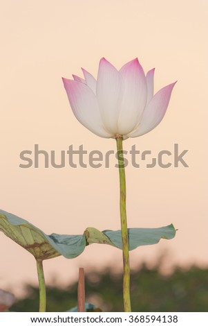 Sacred Lotus under  twilight sky - stock photo