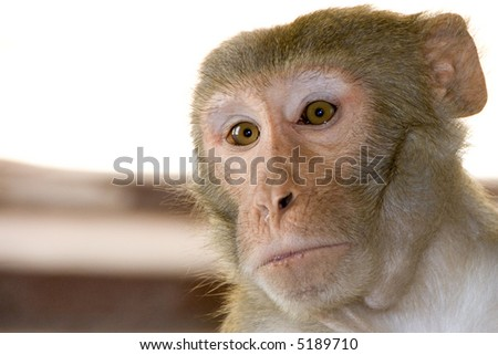 Sacred monkey in indian temple