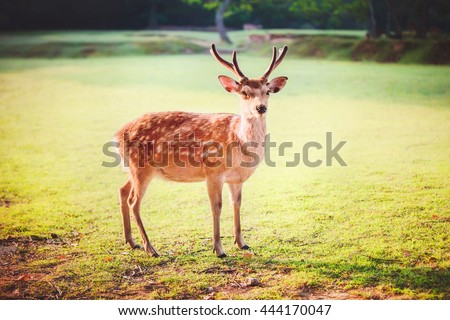 Sacred sika deer at Nara park in the morning, Nara, Japan