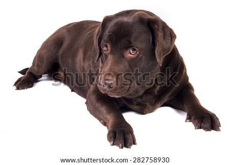 Sad and hungry chocolate labrador dog girl is isolated on the white background - stock photo