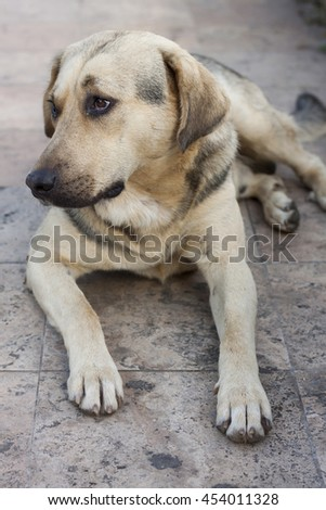 Sad and lonely stray dog sitting on concrete with extended paws and watching something on its right side. Black and yellow  hair color.  - stock photo