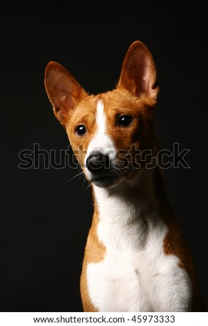 Sad basenji on black background