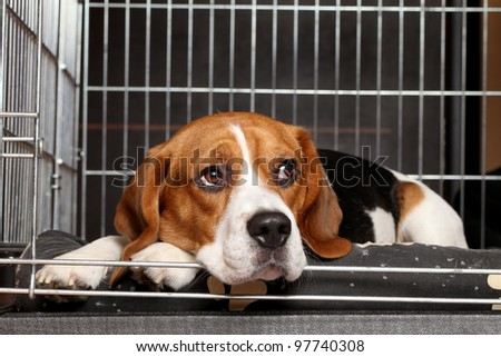 Sad Beagle Dog lying in cage - stock photo