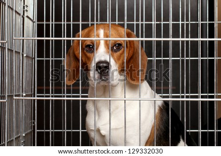 Sad Beagle dog sits locked in a cage - stock photo