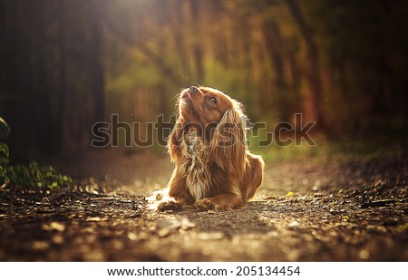 sad beautiful cavalier king charles spaniel is waiting at sunset - stock photo
