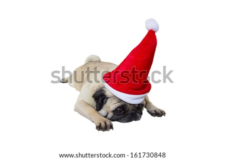 Sad Beige Pug Wearing Christmas Hat - stock photo