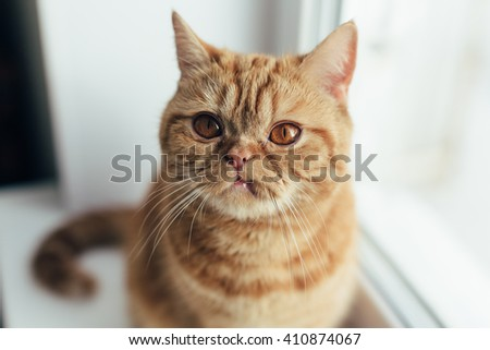 Sad Big orange cat sitting near window and wait for his food. lifestyle photo.
