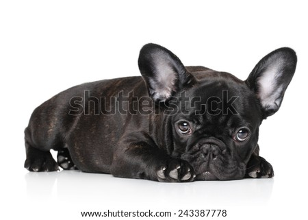 Sad black French bulldog puppy lying against white background - stock photo