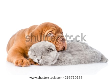 Sad Bordeaux puppy hugs sleeping cat. isolated on white background