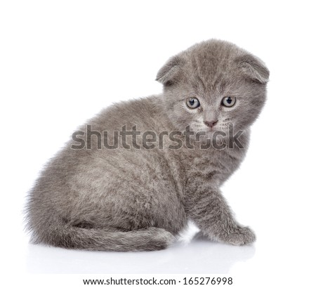 sad british shorthair kitten. isolated on white background - stock photo