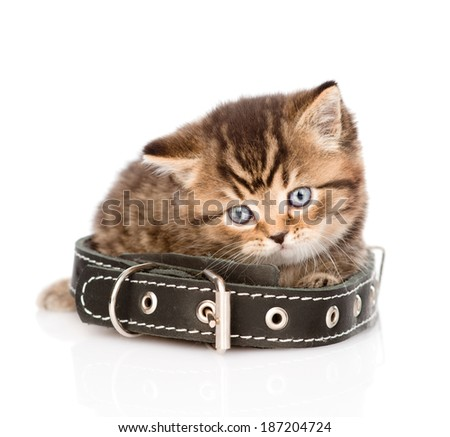 sad british tabby kitten with collar. isolated on white background - stock photo