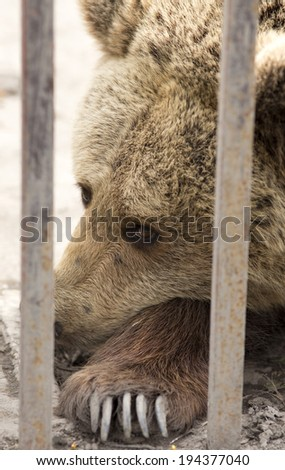 Sad brown bear behind bars in zoo  - stock photo