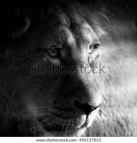 Sad Caged Lion in Zoo in Black and White and Light Shining Through Bars