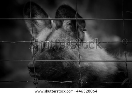 Sad Captured Hyena In Steel Cage At Zoo In Dramatic Black and White