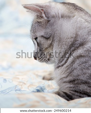 Sad cat close up, cat on siesta time, resting cat , grey domestic cat - stock photo