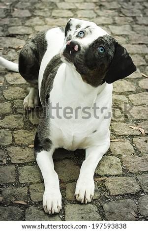 sad catahoula dog - stock photo