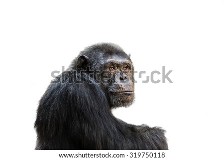 Sad chimp portrait isolated on white background. - stock photo