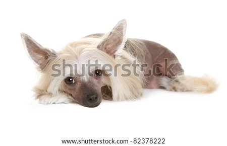 Sad chinese crested dog laying and looking in the camera isolated on white background