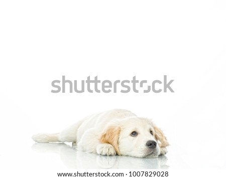 sad cute puppy lying on the floor isolated on white studio shot retriever