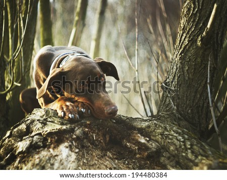 sad doberman dog - stock photo