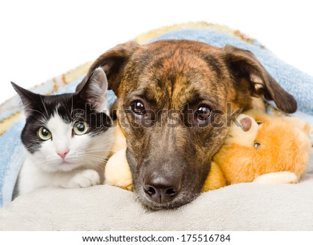sad dog and cat lying on a pillow under a blanket. isolated on white background - stock photo