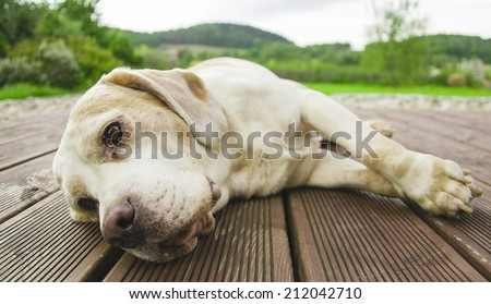 sad dog Labrador retriever is laying on the wood with the green forest and sky background - stock photo