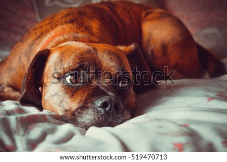 Sad Dog Laid on Bed