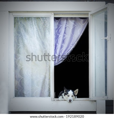 Sad dog looking out from window. Dog waiting for  - stock photo
