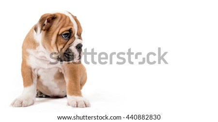 Sad English Bulldog puppy sitting isolated on white background with empty space for ads